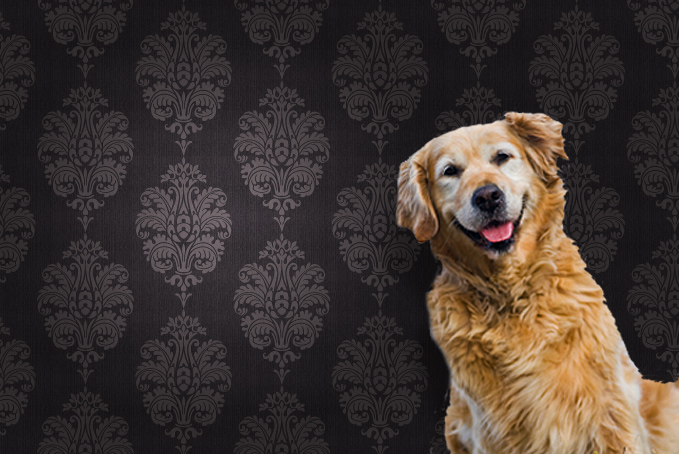 Golden Retriever against a brown pattern wallpaper background