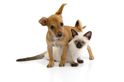 Puppy and kitten against a white background