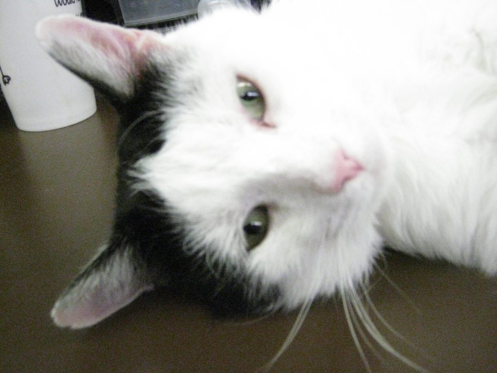 Rocky the cat from Clappison Animal hospital