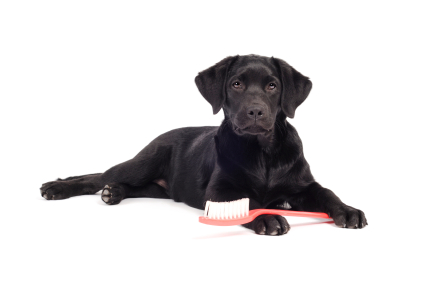 Dog with a toothbrush against a white background