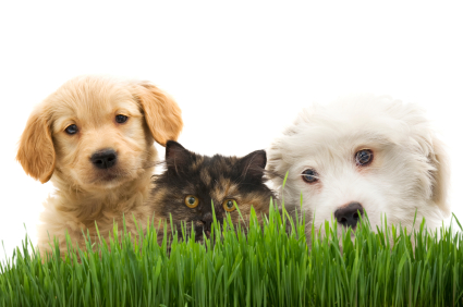 Two dogs and a cat with grass in front