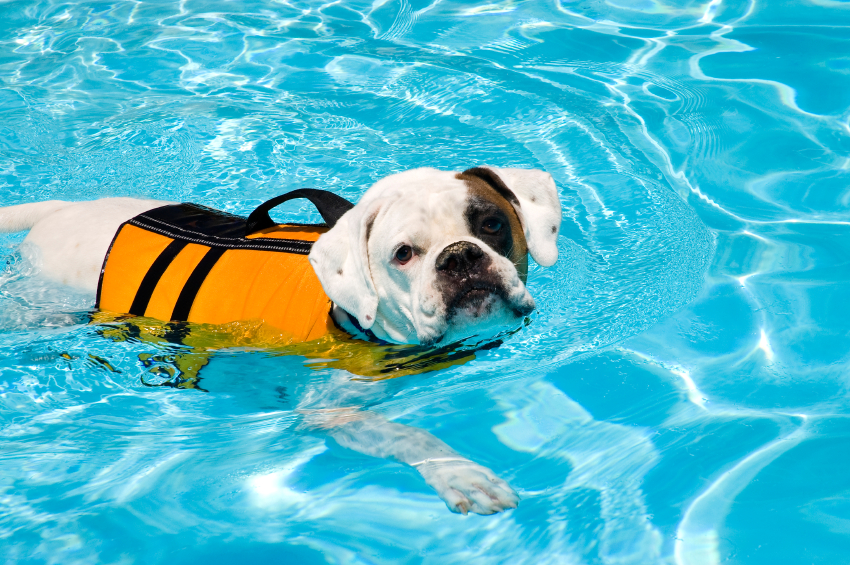Swimming with your pet how to make it fun and safe How to train your dog to swim in the pool