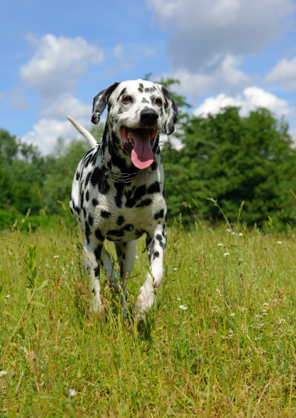 Dalmatian dog outdoors in the summer