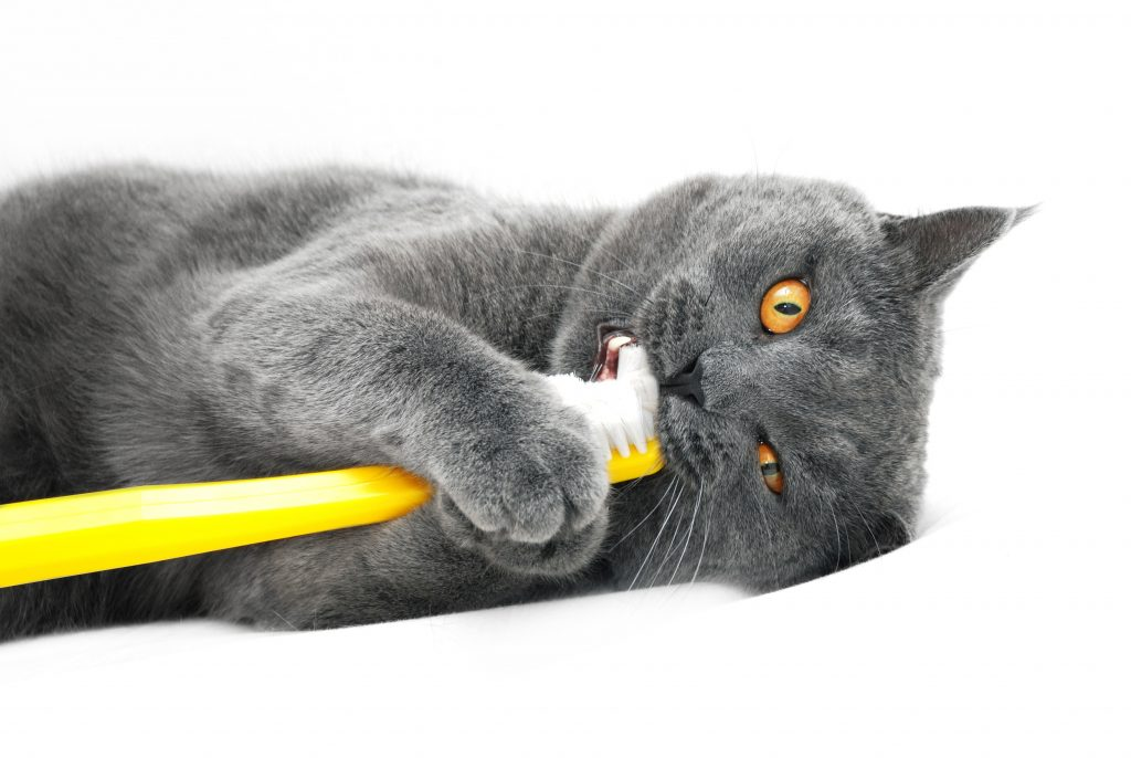 Cat with a toothbrush