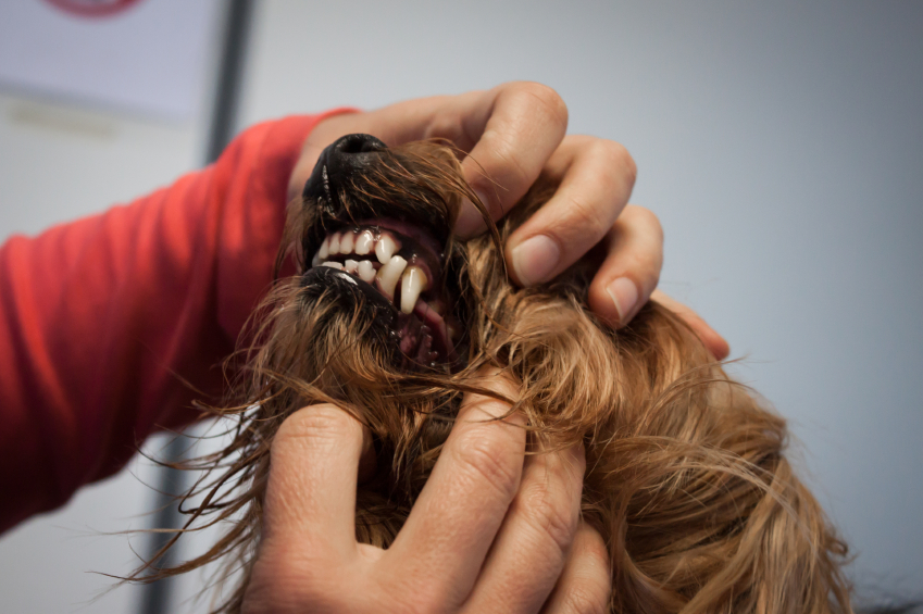 Veterinarian examining a dog's teeth