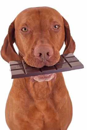 Dog with a chocolate bar in its mouth