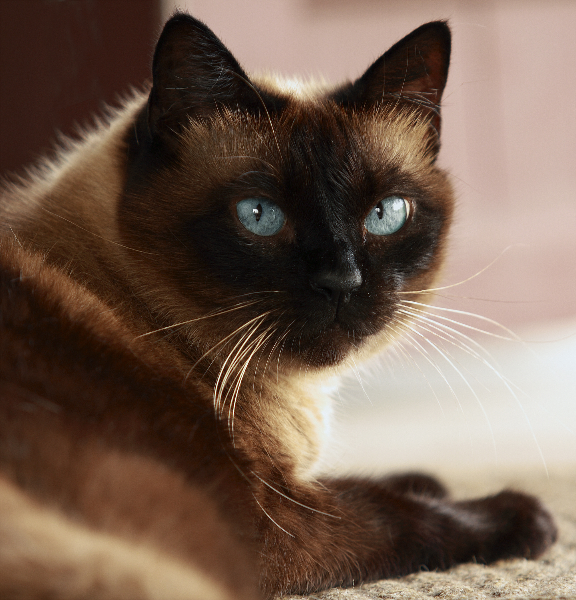 Cat Hyperthyroidism Symptoms And Treatment Clappison