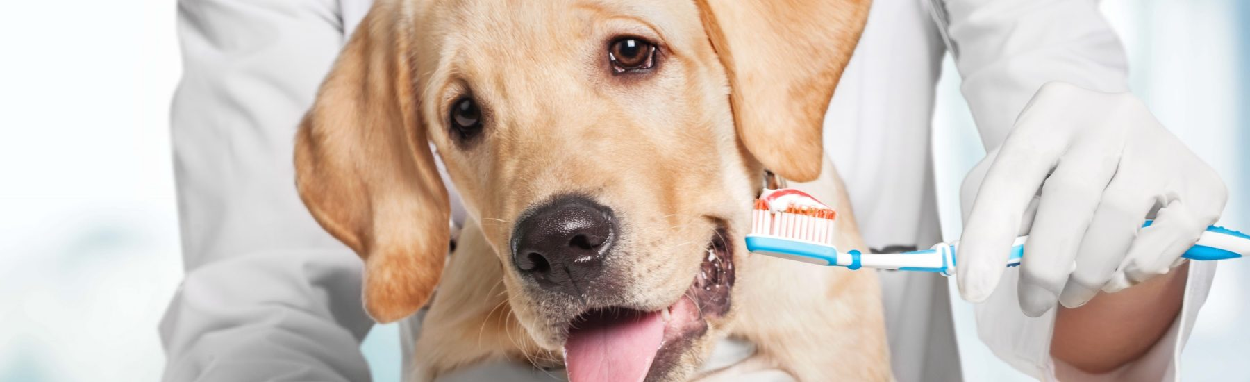 Dog and veterinarian holding a toothbrush