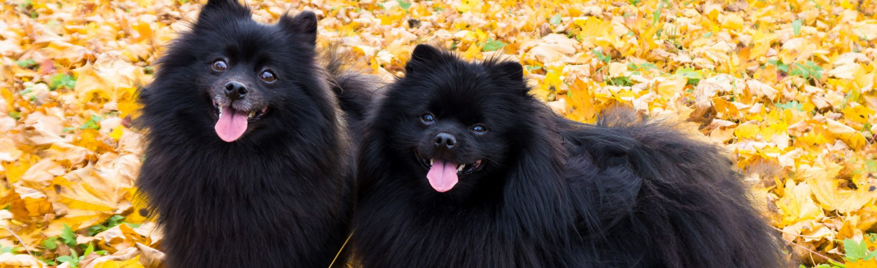 Two dogs outdoors surrounded by fall leaves