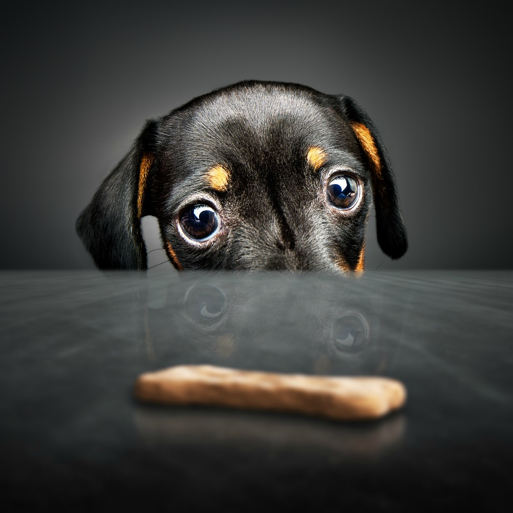 Dog looking at a dog treat