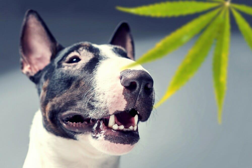 Dog next to a cannabis leaf