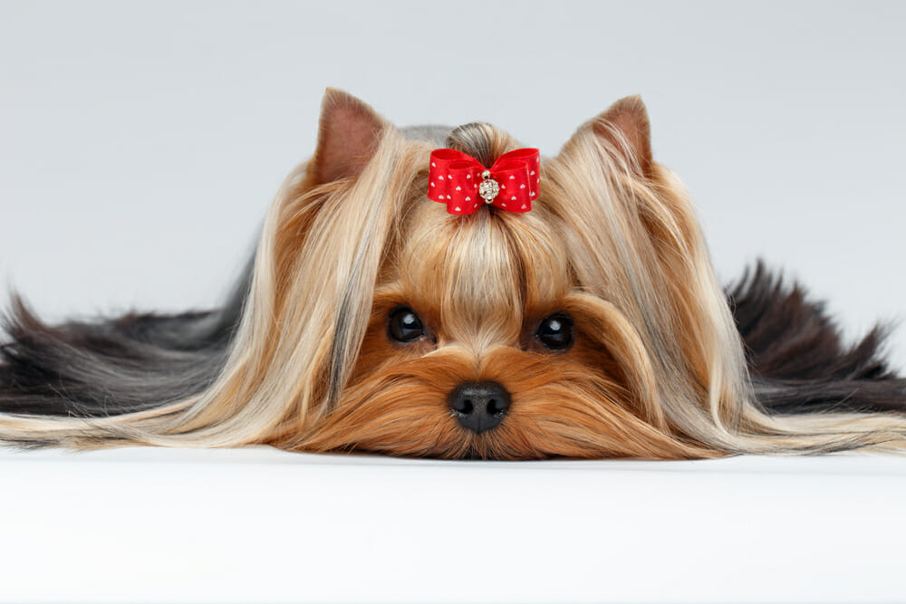 Dog with a bow on its head