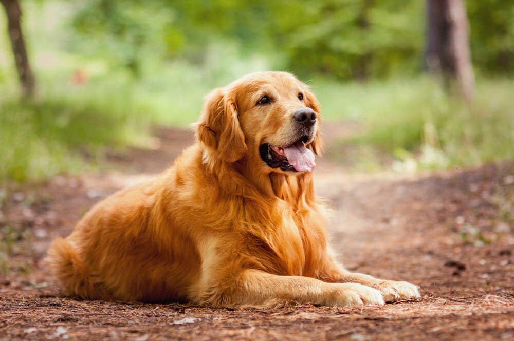 Golden Retriever sitting outdoors